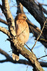RP-005: Red Shouldered Hawk at Sunrise