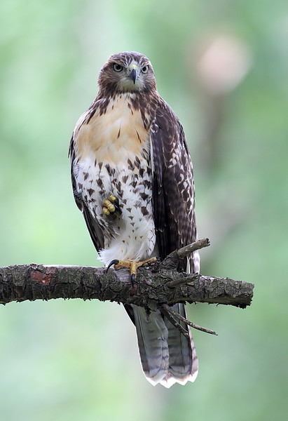 RP-038: Red-tailed Hawk