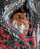 RP-040: Eastern Screech Owl - Red Morph