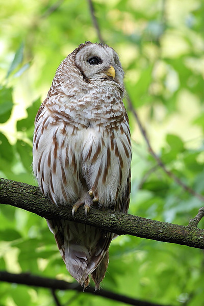 RP-024: Barred Owl