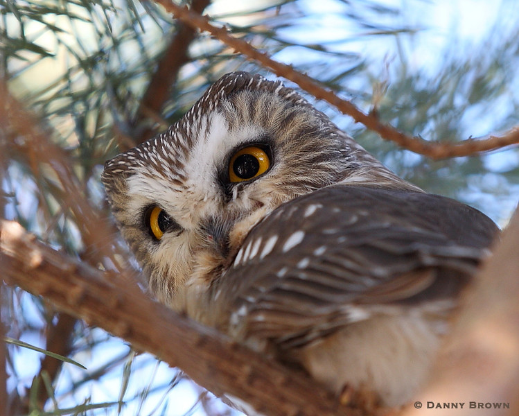 RP-43: Northern Saw-whet Owl