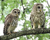 RP-025: Barred Owl - Mama and Baby
