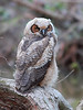 RP-031: Great Horned Owl (Fledgling)