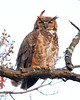 RP-016: Great Horned Owl