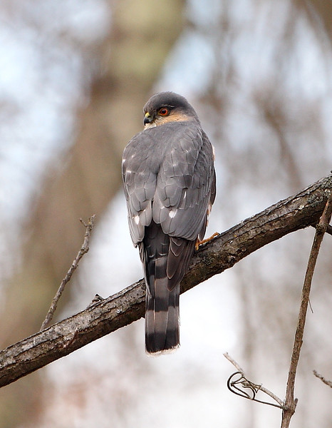 RP-52: Sharp-shinned Hawk
