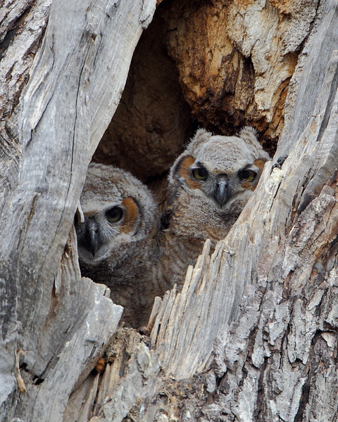 RP-037: Great-horned Owlets
