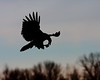 RP-002: Bald Eagle with Shad - Silhouette