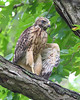 RP-027: Baby Red-shouldered Hawk