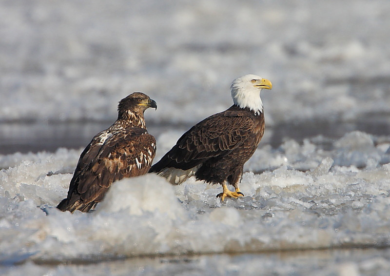 RP-009: Bald Eagles on Ice Floe