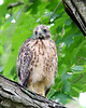 RP-026: Baby Red-shouldered Hawk