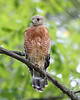 RP-018: Red-shouldered Hawk