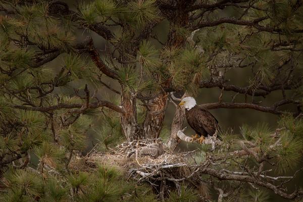 Bald Eagle nest