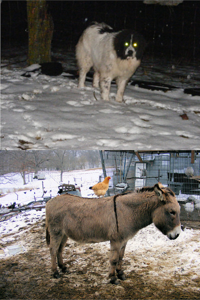 """""""Diptych Collaboration"""" Between the Dog and the Donkey for Guarding."""