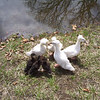 """That Old Saying """"Like a Duck Takes to Water"""". Don't Work."""