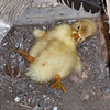 How do Ducks Survive???