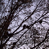 Guineas and Turkey Perched in the Tree