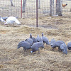 Guineas in a bunch as they usually are.
