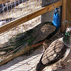 This Peacock Does Have a Long Neck
