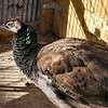 Flakes of Green in the Sun on the Peahen