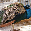 Peacock, Right Side