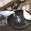 Pigeons, Playing like Ducks