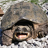 The Business End of a Snapping Turtle.
