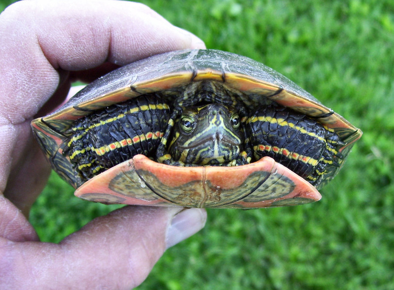 Turtle Racing Strips