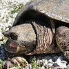 Side View of the Business End of a Snapping Turtle.