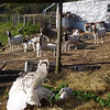 The Goats are Not Sure About These New Critters