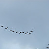 Why One Leg of a V of Geese is Always Longer