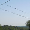 A Good Crop of Barn Swallows, as Usual