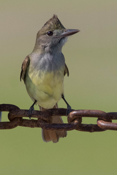 Great-Crested Flycatcher<br /> Location: Pea Island NWR, NC