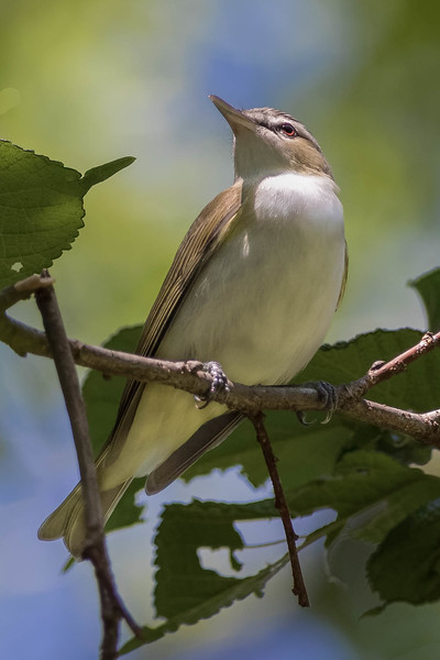 Red-eyed Vireo<br /> Location: Sarasota county, FL