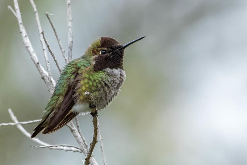 Anna's Hummingbird<br /> Location:  San Diego county,  CA