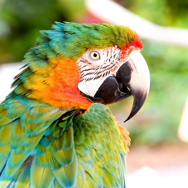 Chestnut-fronted Macaw<br /> Sarasota county, FL<br /> Sarasota Jungle Gardens