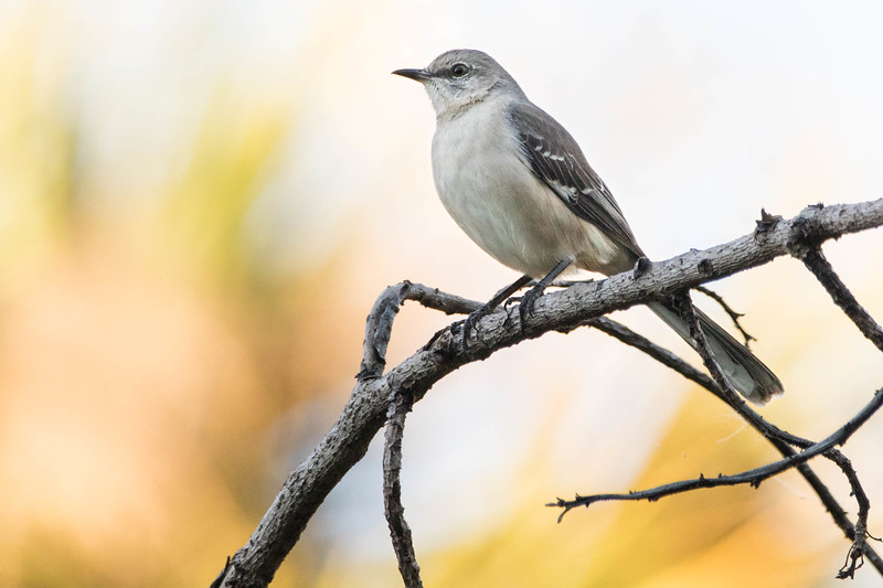 Northern Mockingbird<br /> Location:  Sarasota county, FL