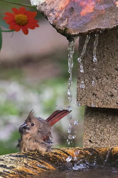 Northern Cardinal (Juvenile) enjoying a bath<br /> Location: Sarasota county, FL