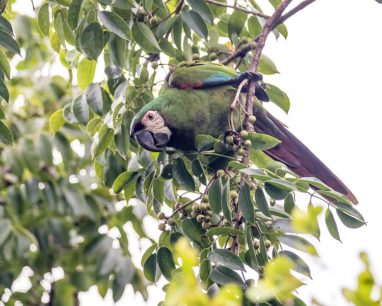 Chestnut-fronted Macaw<br /> Miller Park Roost - Miami , FL<br /> Miami-Dade county
