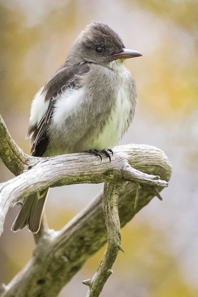 Olive-sided Flycatcher<br /> Location: Point Pelee, Ontario, Canada