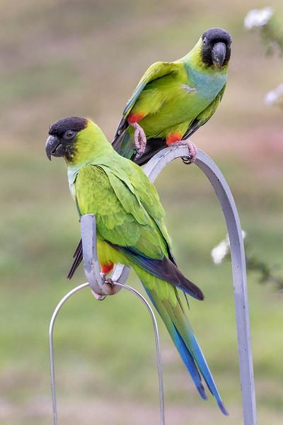 Nanday Parakeets<br /> Location:  Sarasota county, FL
