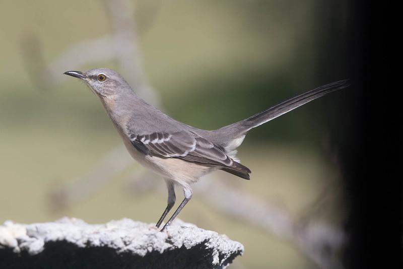 Northern Mockingbird<br /> Location: Dare county, NC