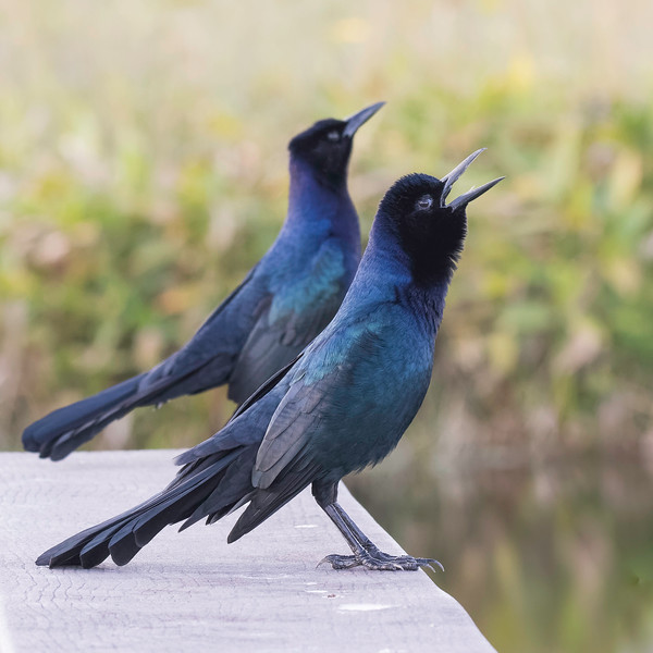 Boat-tailed Grackles<br /> Location: Sarasota County, FL