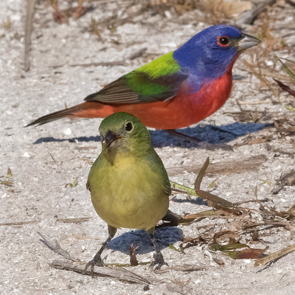 Painted Bunting pair<br /> Location:  Pinellas county, FL