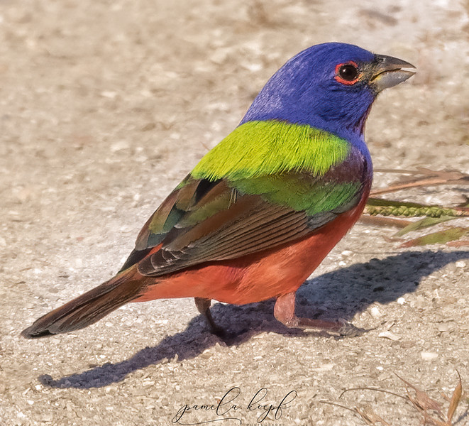 Painted Bunting<br /> Pinellas county, FL<br /> Fort DeSoto Park