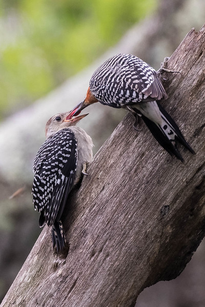 Red-bellied Woodpeckers, parent and fledgling<br /> Location: Sarasota county, FL