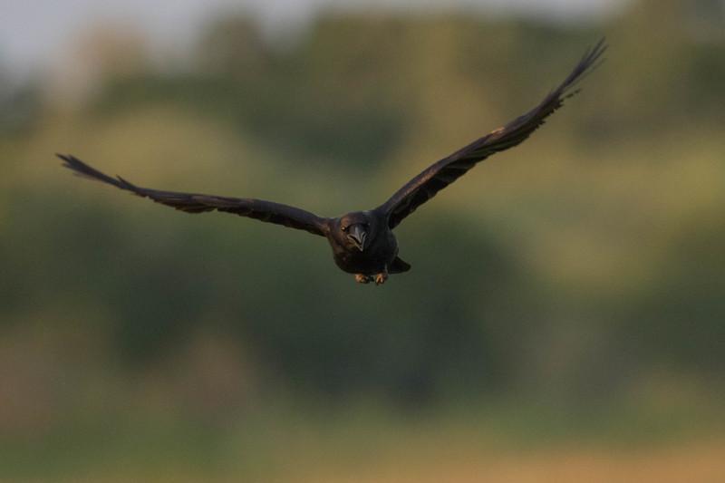 American Crow (photo by Fred Johnson)<br /> Location:  Sarasota county, FL