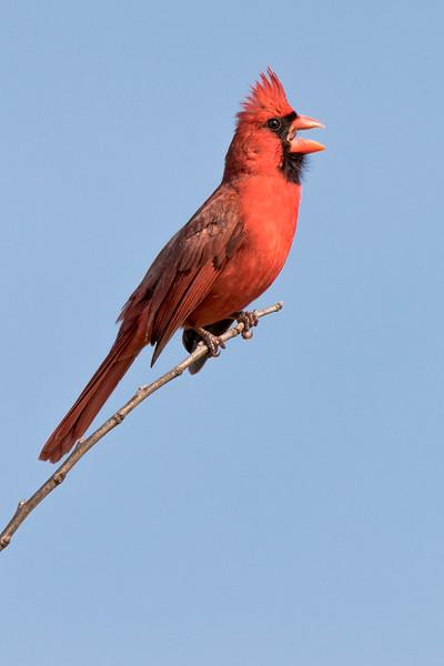 Northern Cardinal<br /> Location:  Sarasota county, FL