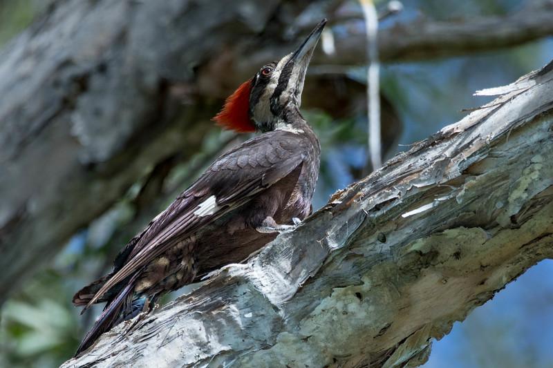 Pileated Woodpecker<br /> Location:  Sarasota county, FL
