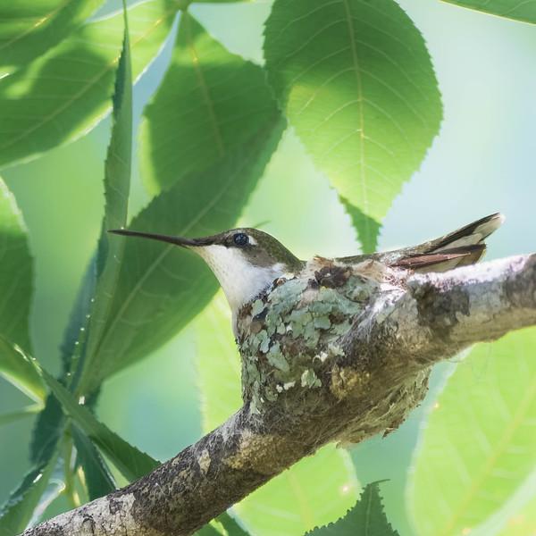 Ruby-throated Hummingbird on nest<br /> Loccation: Sarasota county, FL