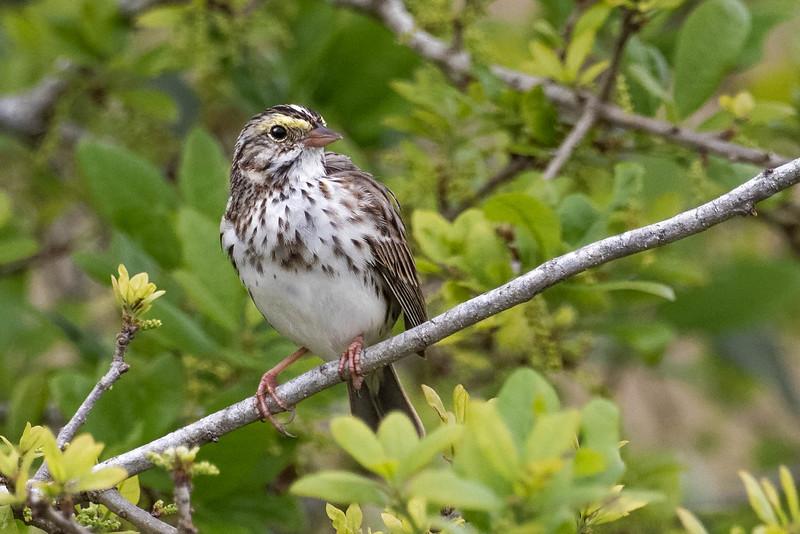 Savannah Sparrow<br /> Location: Sarasota county, FL